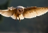 'Barn Owl' by Robert Adamec (http://1x.com/photo/50042/category/nature/latest-additions/barn-owl)